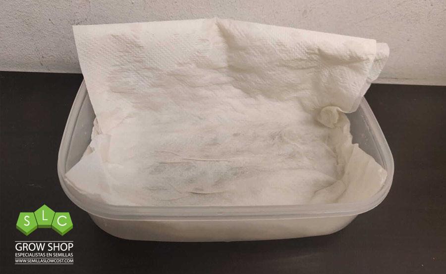 germinacion con papel en tupper