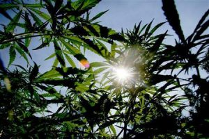 The sun shines though the distinctively shaped leaves of marijuana plants during police raid in Hhohho, Swaziland