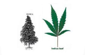 marihuana-tipo-indica